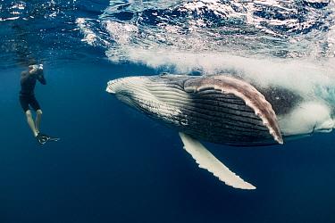 Humpback Whale (Megaptera novaeangliae) calf and tourist, Vavau, Tonga