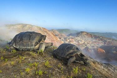 Volcan Alcedo Giant Tortoise (Chelonoidis vandenburghi) pair, Alcedo Volcano, Isabela Island, Galapagos Islands, Ecuador