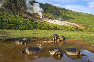Volcan Alcedo Giant Tortoise (Chelonoidis nigra vandenburghi) group wallowing in seasonal pond, Alcedo Volcano, Isabela Island, Galapagos Islands, Ecuador