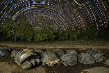 Volcan Alcedo Giant Tortoise (Chelonoidis vandenburghi) group wallowing in mud at night, Alcedo Volcano, Isabela Island, Galapagos Islands, Ecuador