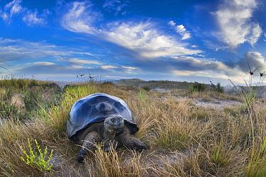 Volcan Alcedo Giant Tortoise (Chelonoidis nigra vandenburghi) on ridge, Alcedo Volcano, Isabela Island, Galapagos Islands, Ecuador