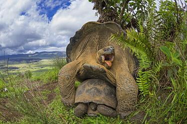 Volcan Alcedo Giant Tortoise (Chelonoidis nigra vandenburghi) pair mating, Alcedo Volcano, Isabela Island, Galapagos Islands, Ecuador