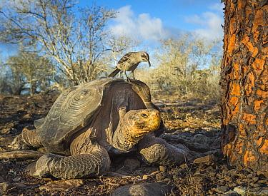 Galapagos Mockingbird (Nesomimus parvulus) on Saddleback Galapagos Tortoise (Chelonoidis nigra hoodensis), Espanola Island, Galapagos Islands, Ecuador