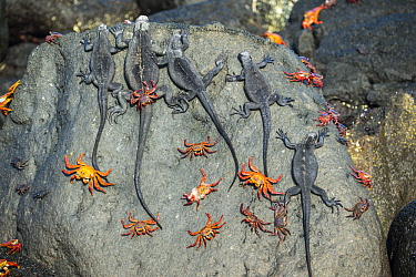 Marine Iguana (Amblyrhynchus cristatus) group with Sally Lightfoot Crabs (Grapsus grapsus), Cape Douglas, Fernandina Island, Galapagos Islands, Ecuador