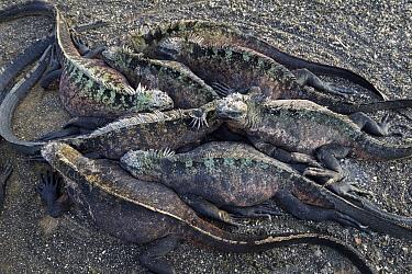 Marine Iguana (Amblyrhynchus cristatus) group huddled together, Punta Espinosa, Fernandina Island, Galapagos Islands, Ecuador