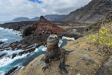 Marine Iguana (Amblyrhynchus cristatus) on coast, Punta Vicente Roca, Isabela Island, Galapagos Islands, Ecuador