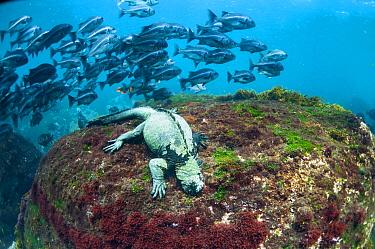 Marine Iguana (Amblyrhynchus cristatus) grazing on algae with Peruvian Grunt (Anisotremus scapularis) school behind, Cape Douglas, Fernandina Island, Galapagos Islands, Ecuador