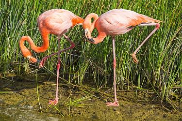 Greater Flamingo (Phoenicopterus ruber) pair preening, Punta Moreno, Isabela Island, Galapagos Islands, Ecuador
