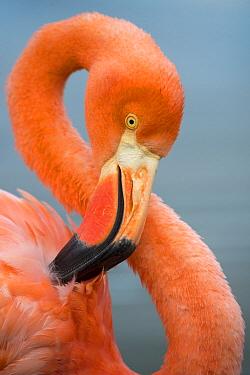 Greater Flamingo (Phoenicopterus ruber) preening, Punta Moreno, Isabela Island, Galapagos Islands, Ecuador