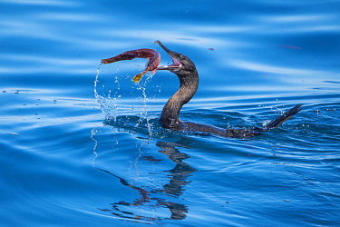 Flightless Cormorant (Phalacrocorax harrisi) swallowing fish prey, Cape Douglas, Fernandina Island, Galapagos Islands, Ecuador