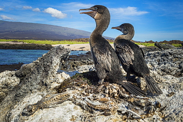 Flightless Cormorant (Phalacrocorax harrisi) pair, Cape Douglas, Fernandina Island, Galapagos Islands, Ecuador