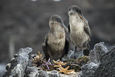 Flightless Cormorant (Phalacrocorax harrisi) pair at nest with sea stars, Punta Albemarle, Isabela Island, Galapagos Islands, Ecuador