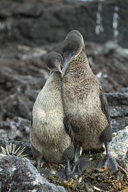 Flightless Cormorant (Phalacrocorax harrisi) pair courting at nest, Punta Albemarle, Isabela Island, Galapagos Islands, Ecuador