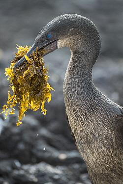 Flightless Cormorant (Phalacrocorax harrisi) carrying nesting material, Punta Albemarle, Isabela Island, Galapagos Islands, Ecuador