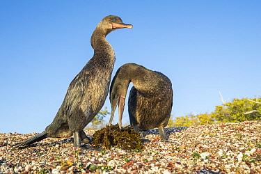 Flightless Cormorant (Phalacrocorax harrisi) pair collecting nesting material, Playa Negra, Isabela Island, Galapagos Islands, Ecuador