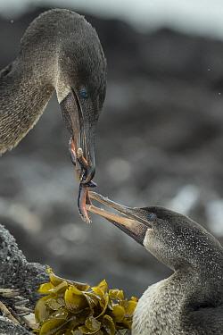 Flightless Cormorant (Phalacrocorax harrisi) bringing food to partner, Punta Albemarle, Isabela Island, Galapagos Islands, Ecuador
