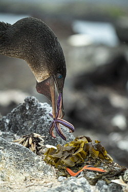 Flightless Cormorant (Phalacrocorax harrisi) carrying sea star as nesting material, Punta Albemarle, Isabela Island, Galapagos Islands, Ecuador