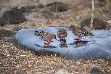 Galapagos Dove (Zenaida galapagoensis) trio, Espanola Island, Galapagos Islands, Ecuador