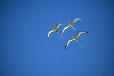 Red-billed Tropicbird (Phaethon aethereus) trio flying, Plazas Island, Galapagos Islands, Ecuador