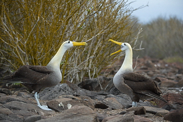 Waved Albatross (Phoebastria irrorata) pair courting, Punta Suarez, Espanola Island, Galapagos Islands, Ecuador. Sequence 3 of 3