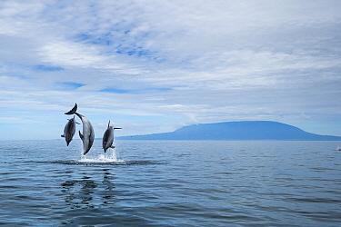 Bottlenose Dolphin (Tursiops truncatus) trio leaping, Urvina Bay, Isabela Island, Galapagos Islands, Ecuador
