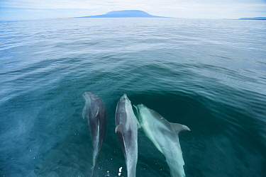 Bottlenose Dolphin (Tursiops truncatus) trio swimming near surface, Urvina Bay, Isabela Island, Galapagos Islands, Ecuador