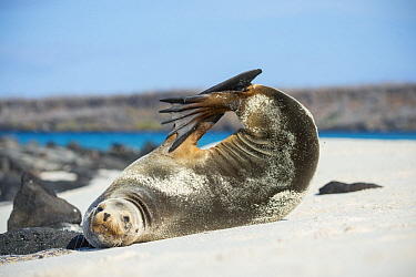 Galapagos Sea Lion (Zalophus wollebaeki) stretching on beach, Mosquera Island, Galapagos Islands, Ecuador