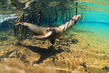 Galapagos Sea Lion (Zalophus wollebaeki) swimming by aerial roots, Elizabeth Bay, Isabela Island, Galapagos Islands, Ecuador