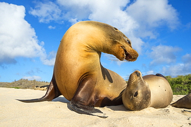 Galapagos Sea Lion (Zalophus wollebaeki) pair squabbling on beach, Santa Fe Island, Galapagos Islands, Ecuador