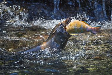 Galapagos Sea Lion (Zalophus wollebaeki) swallowing Blue-barred Parrotfish (Scarus ghobban) prey, Tagus Cove, Isabela Island, Galapagos Islands, Ecuador
