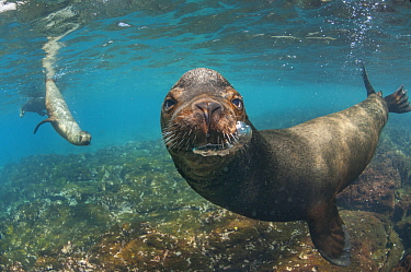 Galapagos Sea Lion (Zalophus wollebaeki) trio in water, Champion Islet, Floreana Island, Galapagos Islands, Ecuador