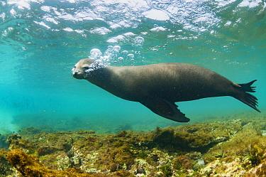 Galapagos Sea Lion (Zalophus wollebaeki) blowing bubbles in water, Cape Douglas, Fernandina Island, Galapagos Islands, Ecuador