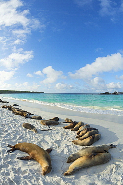 Galapagos Sea Lion (Zalophus wollebaeki) group on beach, Gardner Bay, Espanola Island, Galapagos Islands, Ecuador
