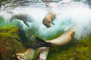 Galapagos Sea Lion (Zalophus wollebaeki) trio playing in water, Santa Fe Island, Galapagos Islands, Ecuador