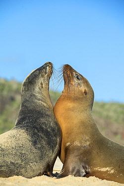 Galapagos Sea Lion (Zalophus wollebaeki) pair facing off, Santa Fe Island, Galapagos Islands, Ecuador