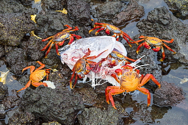 Sally Lightfoot Crab (Grapsus grapsus) group feeding on Yellowfin Tuna (Thunnus albacares) head, killed by Galapagos Sea Lion (Zalophus wollebaeki), Fernandina Island, Galapagos Islands, Ecuador
