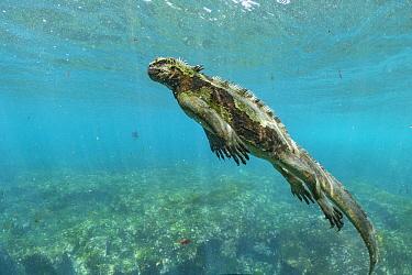 Marine Iguana (Amblyrhynchus cristatus) swimming, Cape Douglas, Fernandina Island, Galapagos Islands, Ecuador