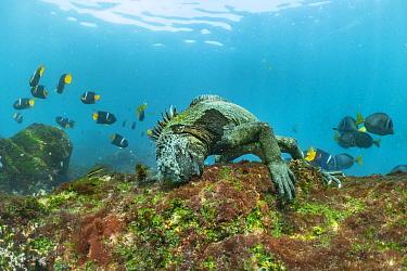 Marine Iguana (Amblyrhynchus cristatus) grazing on algae near King Angelfish (Holacanthus passer) school, Cape Douglas, Fernandina Island, Galapagos Islands, Ecuador