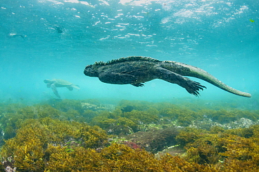 Marine Iguana (Amblyrhynchus cristatus) and Green Sea Turtle (Chelonia mydas), Cape Douglas, Fernandina Island, Galapagos Islands, Ecuador