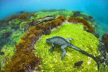 Marine Iguana (Amblyrhynchus cristatus) pair grazing on algae, Cape Douglas, Fernandina Island, Galapagos Islands, Ecuador
