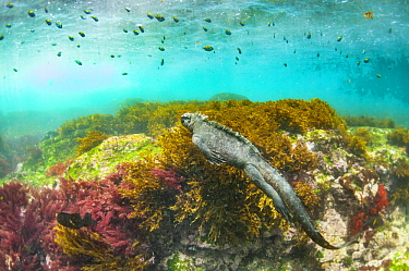 Marine Iguana (Amblyrhynchus cristatus) swimming under school of fish, Cape Douglas, Fernandina Island, Galapagos Islands, Ecuador