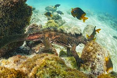 Marine Iguana (Amblyrhynchus cristatus) grazing on algae near Yellowtail Damselfish (Microspathodon chrysurus), Sullivan Bay, Santiago Island, Galapagos Islands, Ecuador