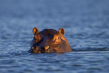 Hippopotamus (Hippopotamus amphibius) at the waterline, Kafue River, Kafue National Park, Zambia