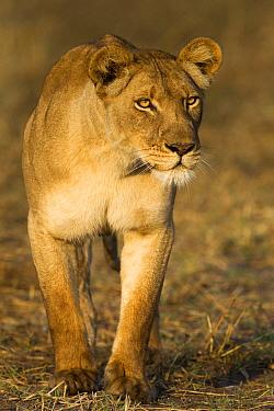 African Lion (Panthera leo) three year old female stalking, Busanga Plains, Kafue National Park, Zambia