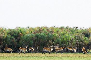 Lechwe (Kobus leche) herd in papyrus floodplain, Busanga Plains, Kafue National Park, Zambia