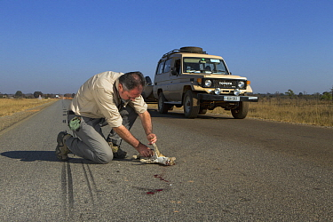 Panther Genet (Genetta maculata) male killed on road, examined by biologist, Luke Hunter, Kafue National Park, Zambia