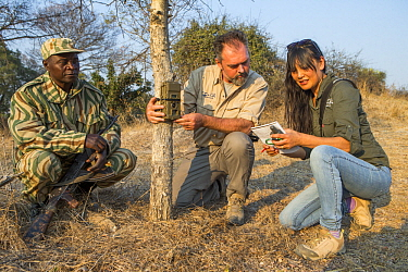 African Lion (Panthera leo) tracker, Timbo Frackson, and biologists, Luke Hunter and Kim Young-Overton, placing camera trap on tree, Kafue National Park, Zambia