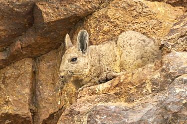 Southern Viscacha (Lagidium viscacia), Patagonia, Argentina