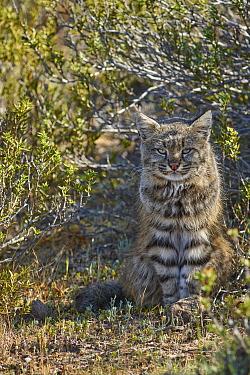 Pampas Cat (Leopardus colocolo), Peninsula Valdez, Argentina