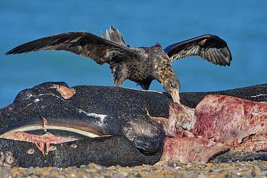 Antarctic Giant Petrel (Macronectes giganteus) feeding on Southern Right Whale (Eubalaena australis) calf carcass, Puerto Madryn, Argentina